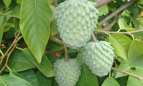 """<h2><a href=""""http://nordesterural.com.br/plantar-fruta-do-conde-pinha-graviola-e-atemoia-em-regime-de-producao-integrada/"""">Plantar fruta-do-conde, pinha, graviola e atemoia em regime de produção integrada</a></h2> Atemoia  No Brasil, cerca de 10 mil hectares são destinados à produção de anonáceas, família que reúne a ata (fruta-do-conde), pinha, graviola e atemoia. Desse total, 3,5 mil hectares são"""