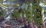 Congresso latino-americano de banana será mês que vem no Brasil