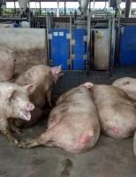 Produtor pode ganhar mais adotando a técnica de gestação coletiva para suínos