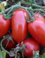 A boa produção de tomate depende do diagnóstico e do controle de pragas