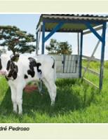 Mais eficiência na produção de leite criando os bezerros na casinha tropical