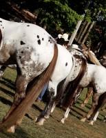 Criadores do cavalo appaloosa se reúnem na Expo Bauru