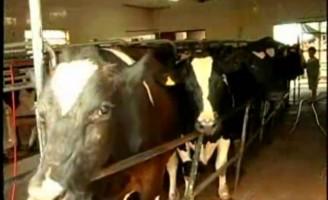 Os bezerros  podem trocar o leite por outros alimentos com adaptação do rúmen precoce