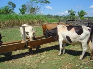 gado no cocho