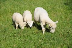 ovelhas pastando.