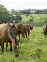 O nordeste é o segundo maior produtor de equinos do Brasil