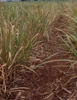 Nordeste sofre com o El Niño e cana é setor muito castigado