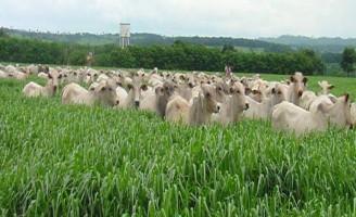 Brasil pode reduzir problemas do efeito estufa melhorando a criação do gado