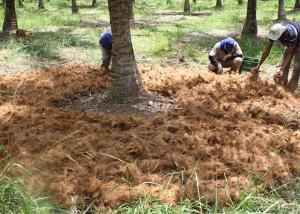 adubação de coqueiro