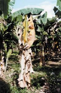 bananeira 1