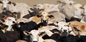cabecas-de-gado-em-fazenda-