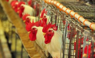 Experiência garante o equilíbrio para a avicultura brasileira enfrentar a crise