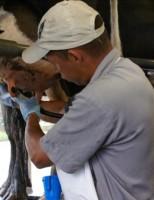 Mastite bovina aparece com mais frequência durante os períodos de clima quente