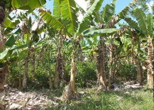 banana orgânica