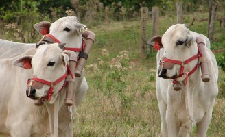 O meio ambiente ganha com o aumento da produção na pecuária