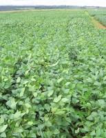 Os efeitos desastrosos do El Niño nas plantações de soja no Brasil