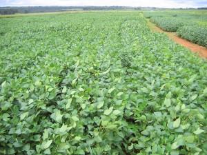 plantação de soja 1