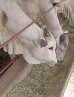 Apresentação de suplementos nutricionais para bovinos em exposição de Minas Gerais