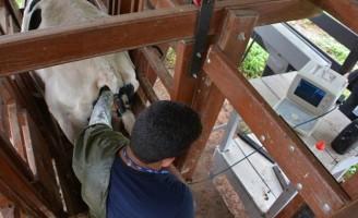 Nova técnica de inseminação melhora o nível de prenhez de vacas