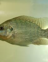 O peixe tilápia será usado no combate às larvas do Aedes aegypti