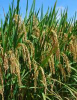 Pesquisadores usam fungos e bactérias no combate a pragas em plantações de arroz
