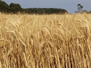 semente de trigo