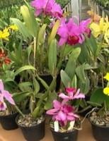 O pequeno agricultor pode ganhar mais dinheiro plantando flores