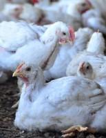 Impulsionado pela ciência, a produção de frango supera a crise