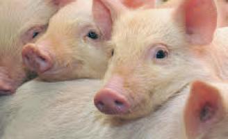 As micotoxinas pode prejudicar a criação de porcos e devem ser combatidas