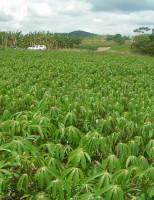 Treinamento para quem quiser aprender mais como se cultiva mandioca