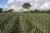 Um curso para ensinar o produtor a cultivar abacaxi usando boas práticas agrícolas