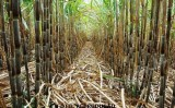 Recursos do BNDES serão liberados para incentivo a novas variedades de cana