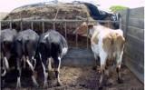 Vacas podem aumentar a produção de leite com o consumo equilibrado de fibras