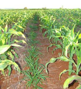 consorcio milho e capim