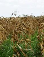 Como recuperar as pastagens em áreas de seca no semiárido