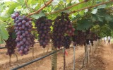 Aumenta a produção de uva no projeto irrigado de Maniçoba no nordeste