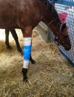 Celulas-tronco já podem ser usadas para cura de doenças em cavalos