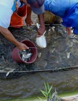 Peixamento para comemorar os 515 anos de descoberta do Rio São Francisco