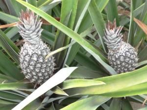 abacaxi-perola