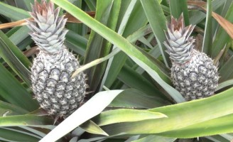 Uso de tecnologia e orientação especial fazem o agricultor aproveitar tudo do abacaxi e produzir mais