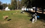 Bezerras criadas no sistema de cria em estacas se desenvolvem com saúde