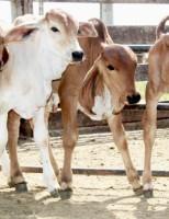 Produtor rural pode desenvolver vários embriões numa única vaca sem sair da fazenda