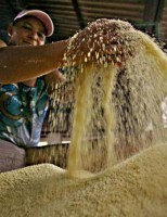 Orientações para solucionar problemas na produção de mandioca no Brasil