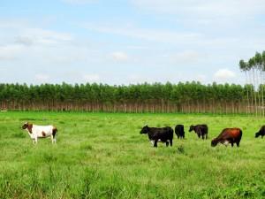 gado campo - floresta