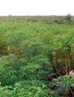 O jeito correto de usar ramos e folhas de mandioca na alimentação animal