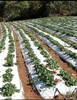 Morango dá bons resultados no tempo de seca em Minas Gerais