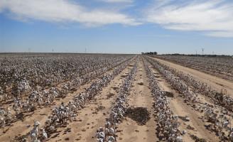 Algodão brasileiro é testado em lavouras cultivadas nos Estados Unidos