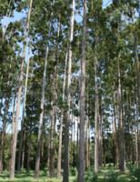 Percevejo que ataca as plantações de eucalipto pode ser combatido com controle biológico