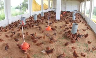 Brasil endurece a luta para se proteger da gripe aviária