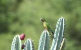 Os cactos da caatinga nordestina podem ser usados como alimento